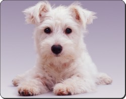 West Highland Terrier, AD-W7