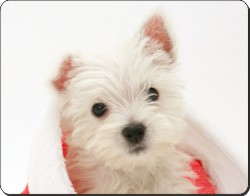 West Highland Terrier in Christmas Hat, AD-W8