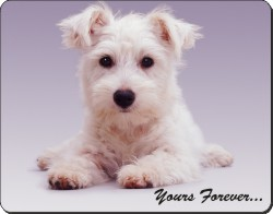 West Highland Terrier with Sentimentt, AD-W9