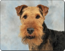 Welsh Terrier, AD-WT1