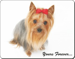 Yorkshire Terrier with Sentiment, AD-Y8