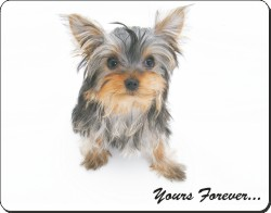 Yorkshire Terrier with Sentiment, AD-Y9