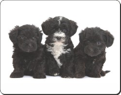 Yorkipoo Puppies, AD-YP1