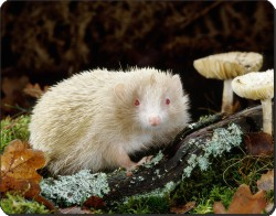 White Albino Hedgehog, AHE-1
