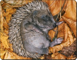 Baby Hedgehog, AHE-4