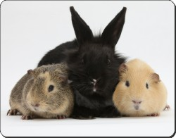 Rabbit and Guinea Pigs, AR-9