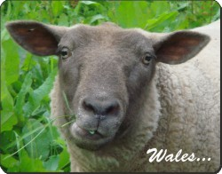 Welsh Sheep with Caption, ASH-3W
