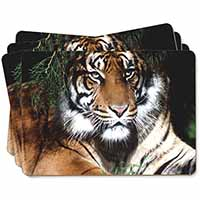 Bengal Tiger in Sunshade Picture Placemats in Gift Box