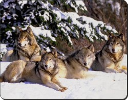 Wolves in Snow, AW-8