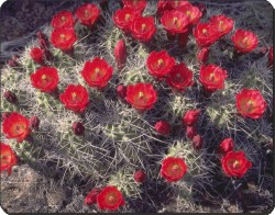 Red Cactus Flowers, FL-2