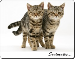 Brown Tabby Cats
