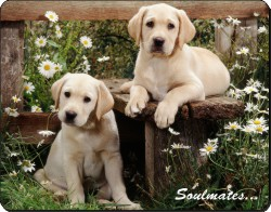 Yellow Labrador Puppy Dogs