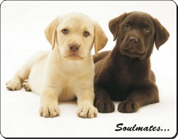 Yellow+Chocolate Labrador Puppies