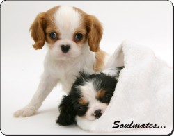 King Charles Spaniel Dogs
