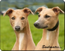 Whippet Dogs