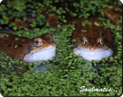Two Pond Frogs