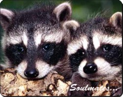 Racoons in Love