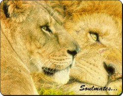 Two Lions in Love