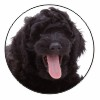 Black Labradoodle Dog Fridge Magnet Animal Gift